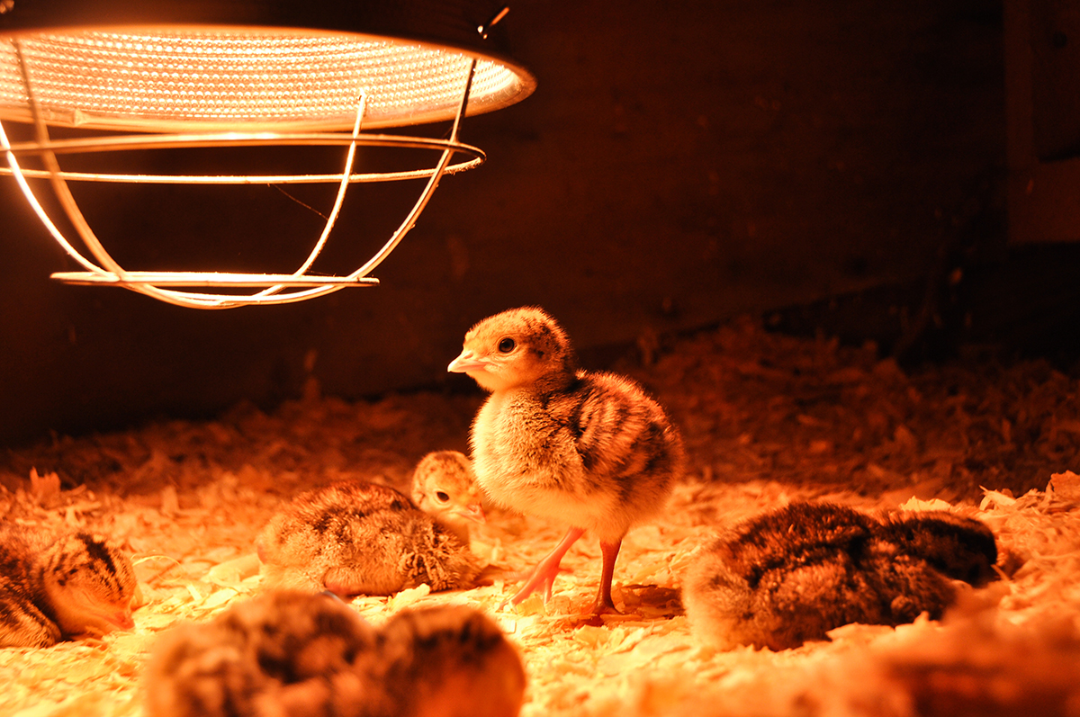 10 Benefits Of Heat Lamp For Chickens Warisan Lighting