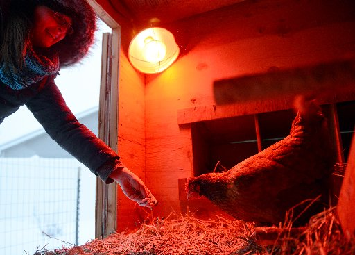 heat lamp for chickens photo - 7
